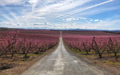 Discover Peach Tree Blossom in Aitona | Travel Spain